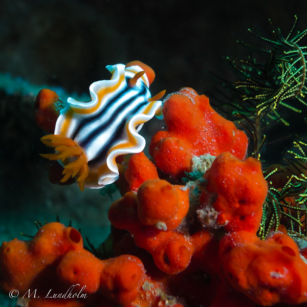 Nudibranch (Chromodoris magnifica)