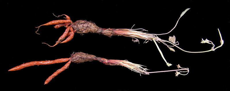 Pelargonium caledonicum tubers