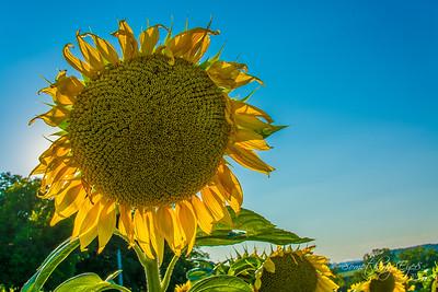 Sunflowers 2015