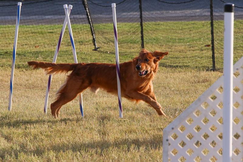 11-4-2018 Border Terrier-2683.jpg