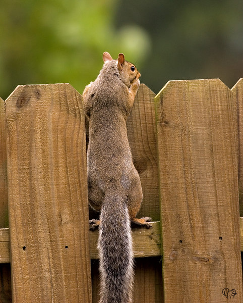 Could have straightened the fence, squirrels straight:-)