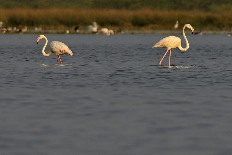 Greater-Flamingos.jpg
