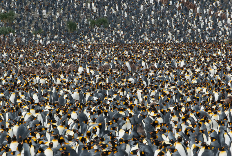 A colony of 100,000 King Penguins - South Georgia Island