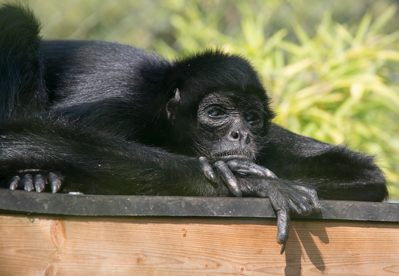Colombian Spider Monkey