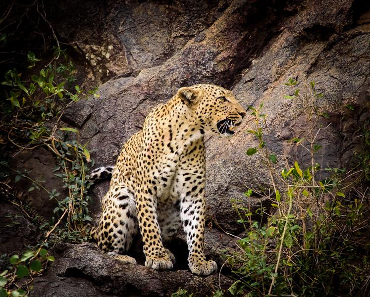 Leopard - Two