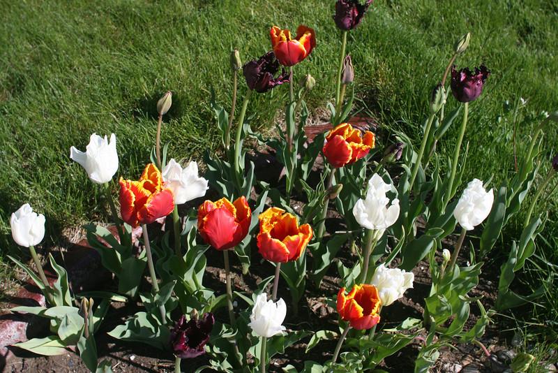 Tulips 2011 009.JPG
