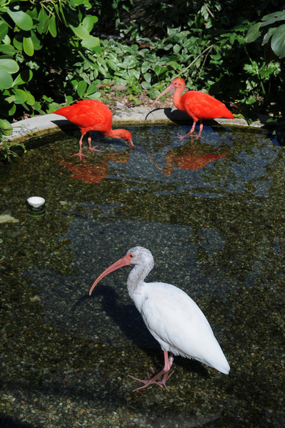 A white and two Scarlet Ibis at the turtle farm