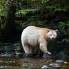 Spirit Bear - Great Bear Rainforest