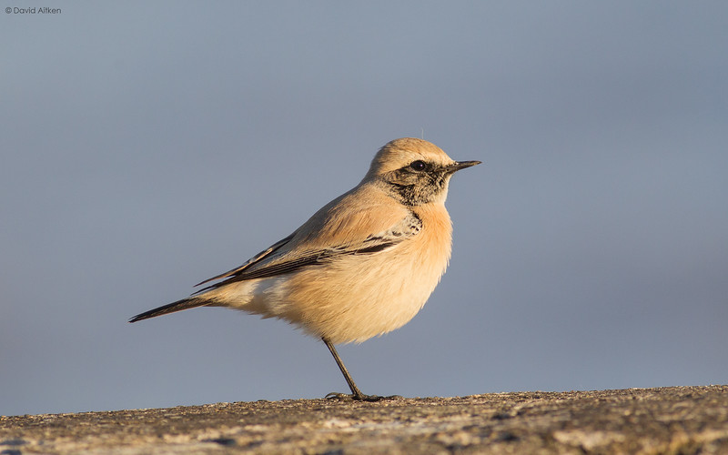 Desert Wheatear - Bridlington, Yorkshire 17/10/16