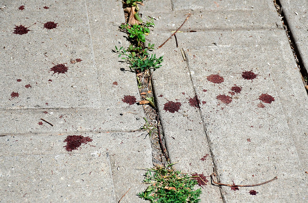 9/4/2018 Mike Orazzi | Staff Blood along Main Street. The trail stretches from Main at Summer on along Riverside Avenue for several blocks.