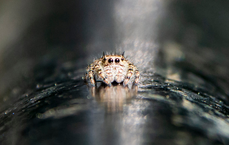 Jumping-spider-fencerail-homecloseup.jpg