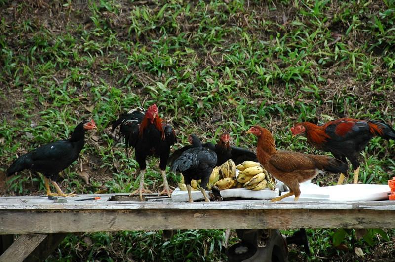Chickens and Bananas - Koh Pha Ngan, Thailand