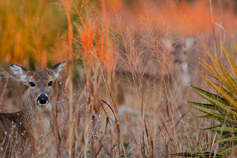 White-tailed Deer - A deer and its camouflaged companion stare at the photographer