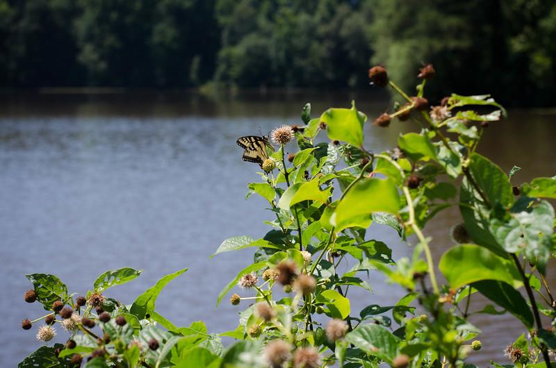 North Carolina Butterfly