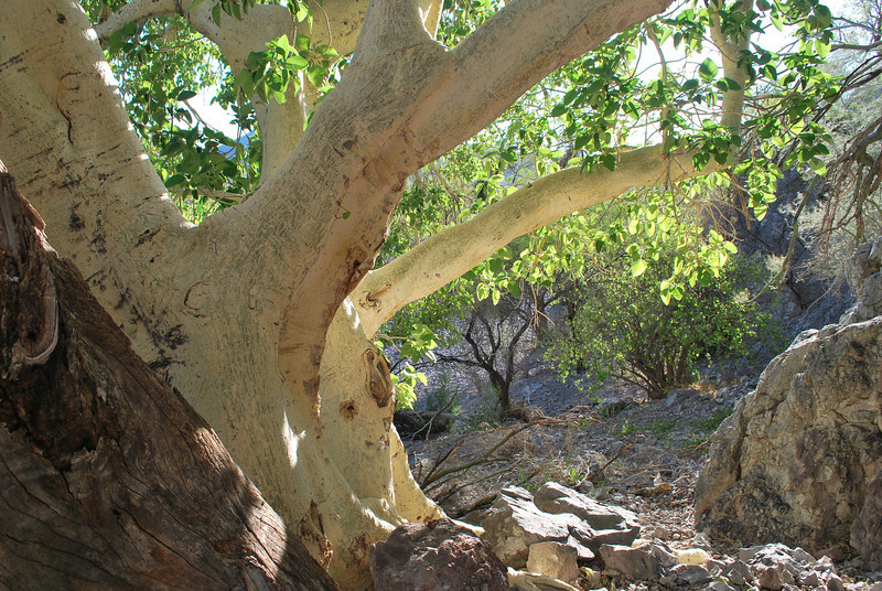beautiful shade under a big fig tree