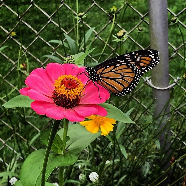 #monarch and #zinnia Do you want to attract beneficials in your yard? Plant Zinnias and Tithonias next spring (they are annuals). #flower #butterfly