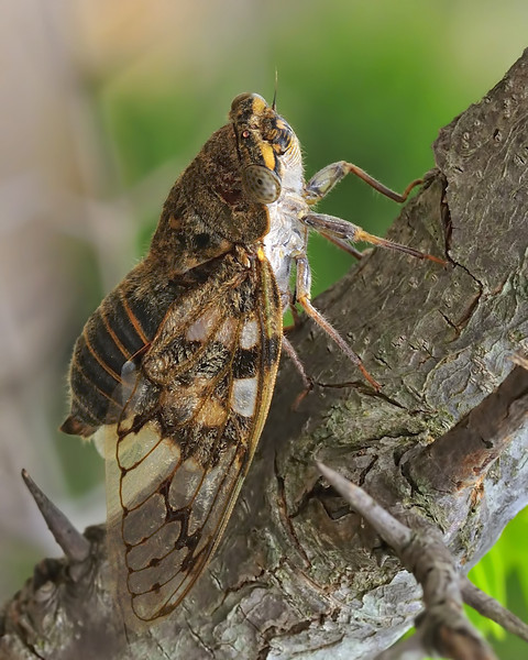 Cicada-02.jpg