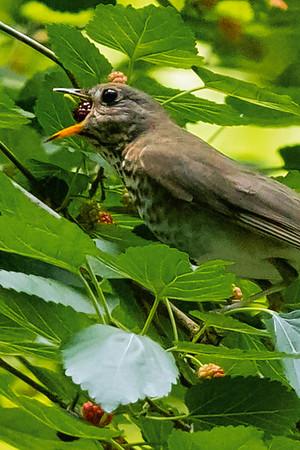 Gray-cheeked Thrushes