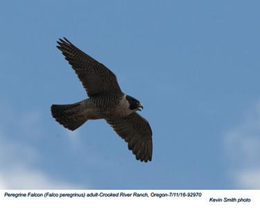 Peregrine Falcon A92970.jpg