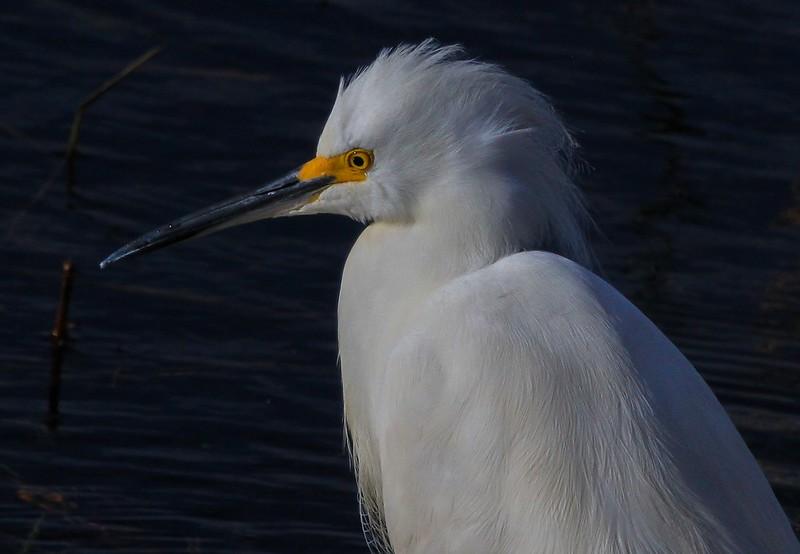 aaAnahuac 12-9-16 357B, Snowy Egret upper body.jpg