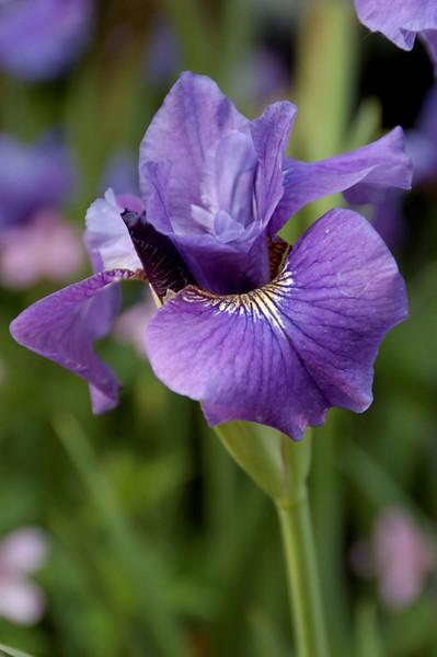 Iris (5).jpg