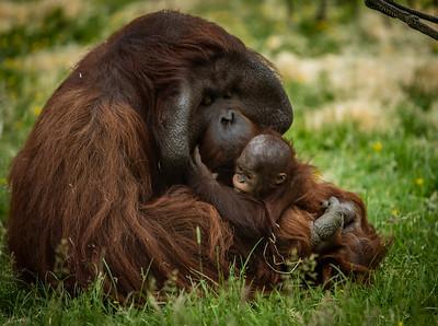 Apes and Orang - utan,s