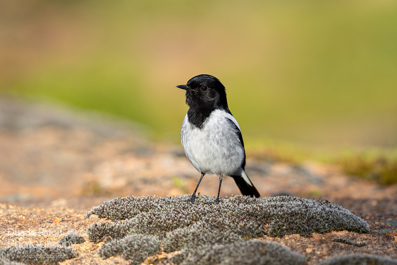 Hooded Robin