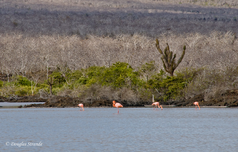 Flamingos in a pond at Cormorant Point, Floreana Island