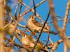 Nesting Kestrels