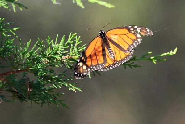 Monarch Butterflies at Pismo Beach 2013
