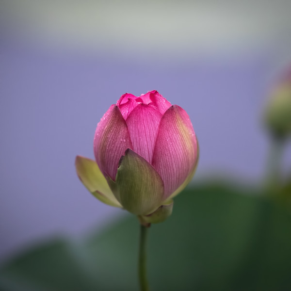 The Exotic Bud of a Water Lotus