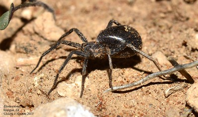 Miturgidae (Prowling spiders)