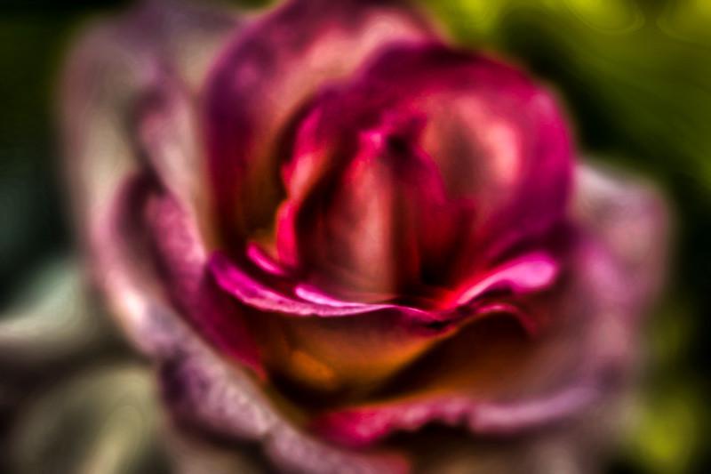 September 5 - Rose pedal.jpg