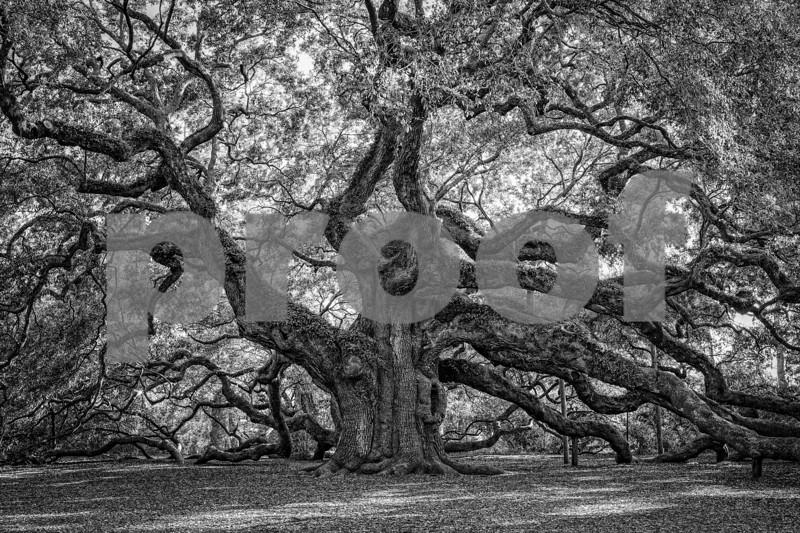 Angel Oak Tree 2018  (1 of 1).jpg
