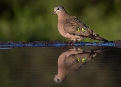 Emerald-spotted Wood Dove (Turtur chalcospilos)