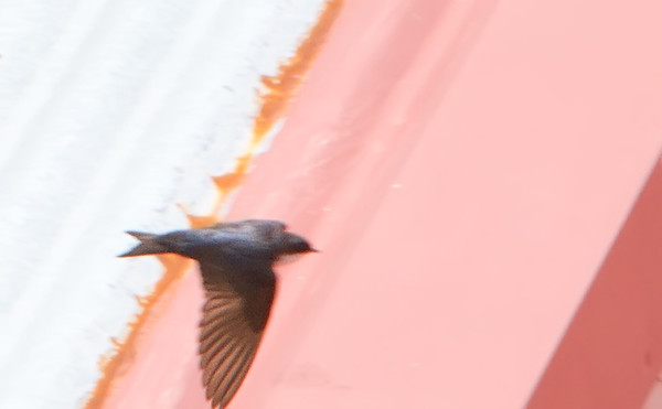 Blueandwhite Swallow