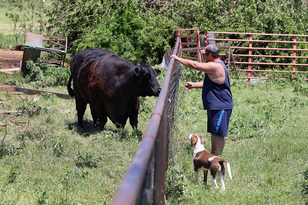 . EL RENO, OK - JUNE 01:  Chad Beckman checks in on a steer that survived a tornado that hit a friend\'s home on June 1, 2013 in El Reno, Oklahoma. The tornado ripped through the area killing at least nine people, injuring many others and destroying homes and buildings.  (Photo by Joe Raedle/Getty Images)