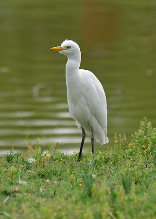 Egret, Cattle