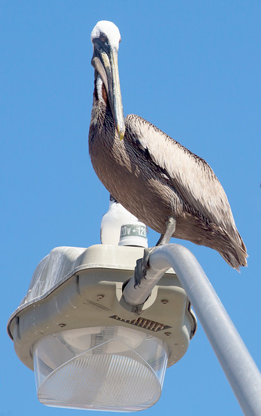 A Brown Pelican on a lamp greets us at the Texas City Dike.