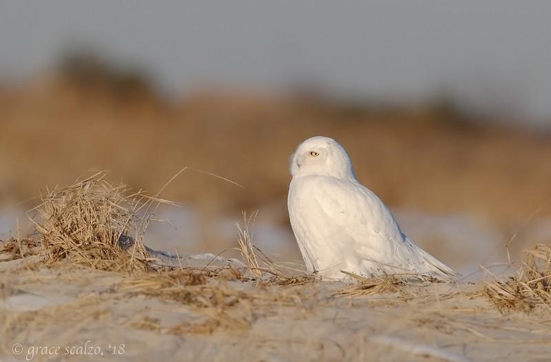 Snowy Owl__O8U3759.jpg