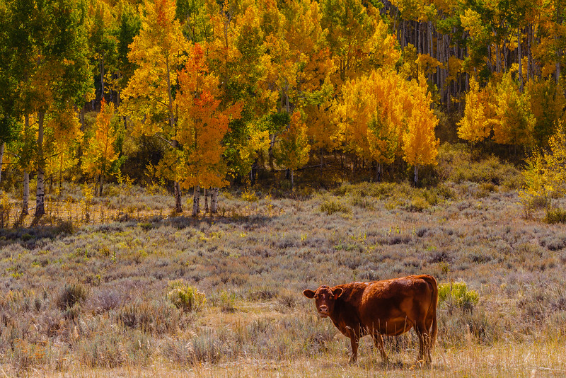 Autumn cow near Dallas Divide