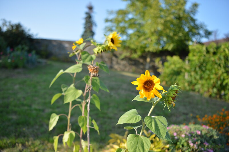 Sunflower Lonay_20092020 (17).JPG