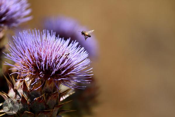 California Buckwheat and Wild Artichoke
