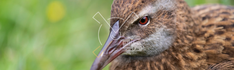 beatiful head detail of red eye and bill of Western or southern weka