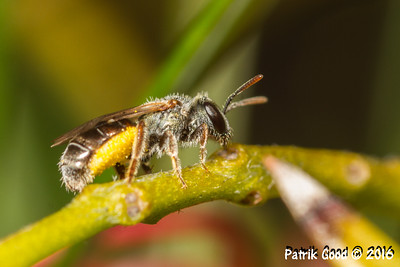 Yellow-belly Leafcutter Bee