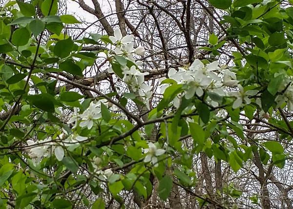 6.3.1 mystery tree, prob Azalea