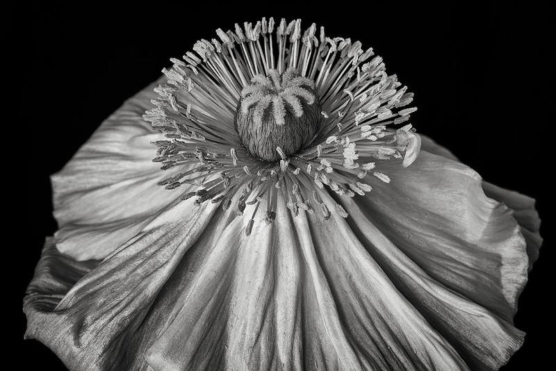 poppy-04-bw.jpg