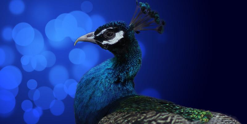 blue-peacock.jpg