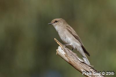Passeriformes small