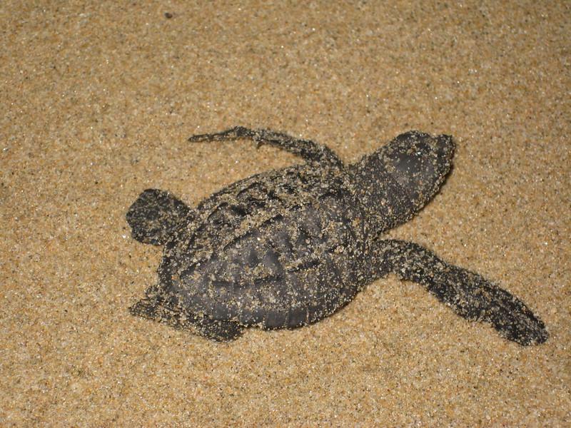 2007-11-30-0036-Las Alamandas in Jalisco, Mexico with Hahns-Sea Turtles Hatched from Rescued Eggs at Las Almandas.JPG
